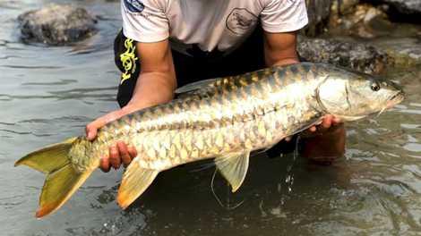 Peixe dourado sagrado está prosperando no Butão