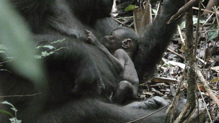 Mãe gorila selvagem cuida de filhote de uma semana em vídeo raro