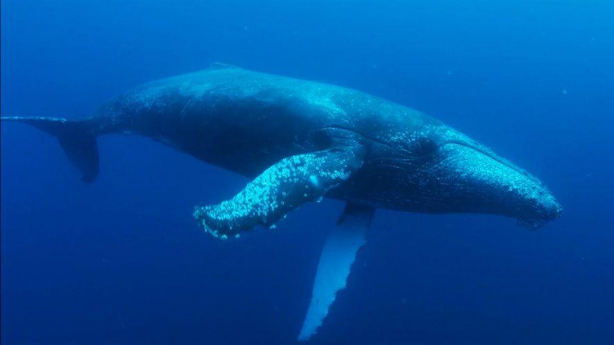 As baleias-jubarte da África do Sul estão voltando de forma impressionante.