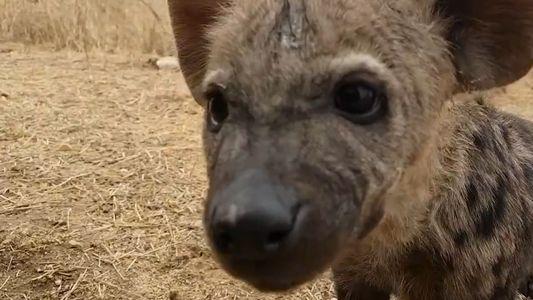 Veja os adoráveis filhotes de hiena filmados na natureza