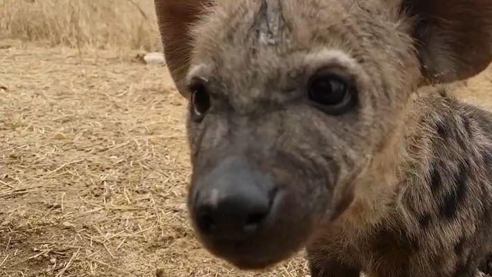 As adoráveis bebês hienas