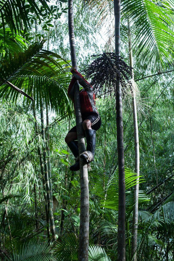 extrativismo-acai-amazonia-amapa