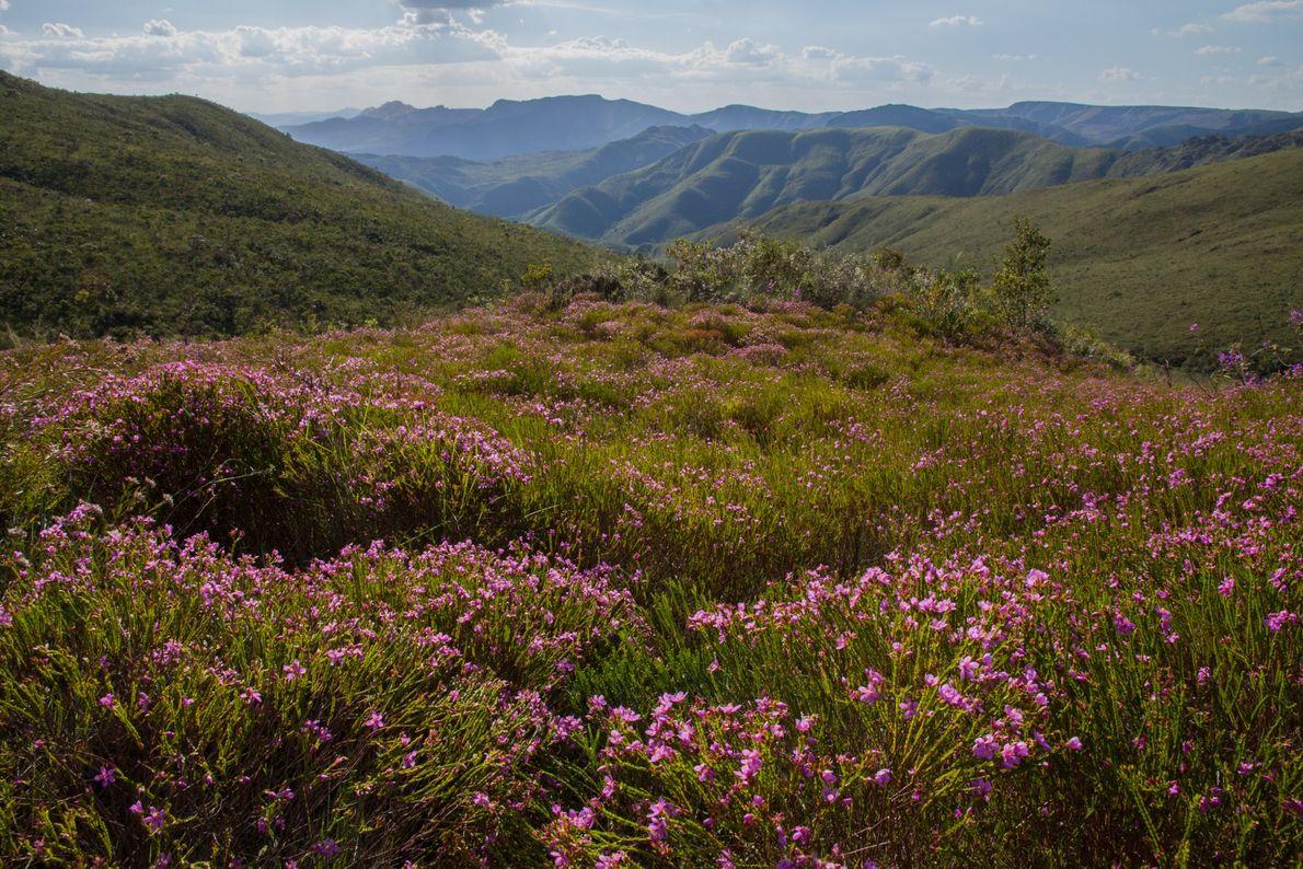 flores-campo-rupestre