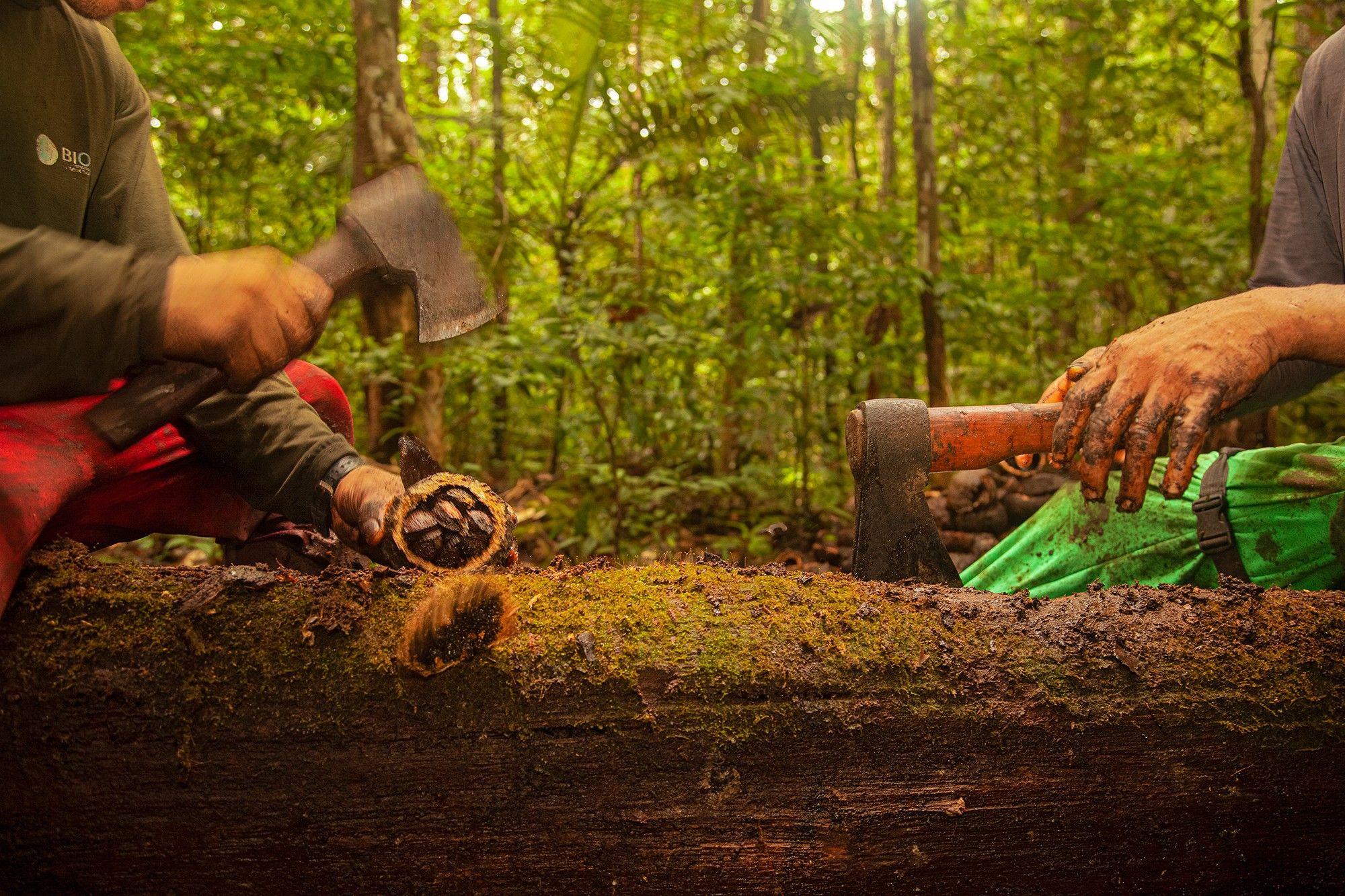 Como a economia de floresta em pé pode salvar a Amazônia – e o planeta | National Geographic