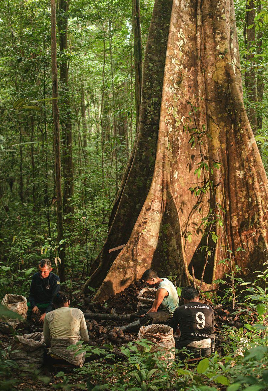 Castanheiros processam a castanha embaixo de uma samaúma na Reserva de Desenvolvimento Sustentável Rio Iratapuru, Amapá.