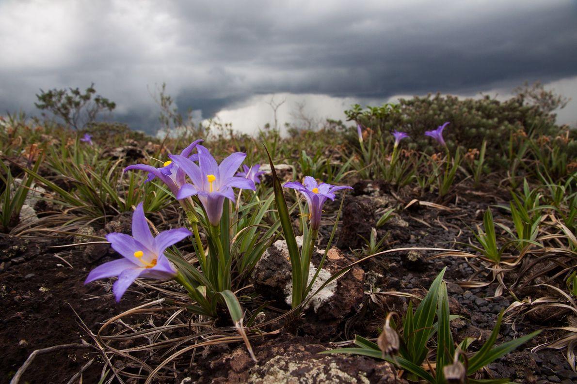 Flores da Vellozia sp. aparecem depois das primeiras tempestades do verão em Minas Gerais. Depois de …