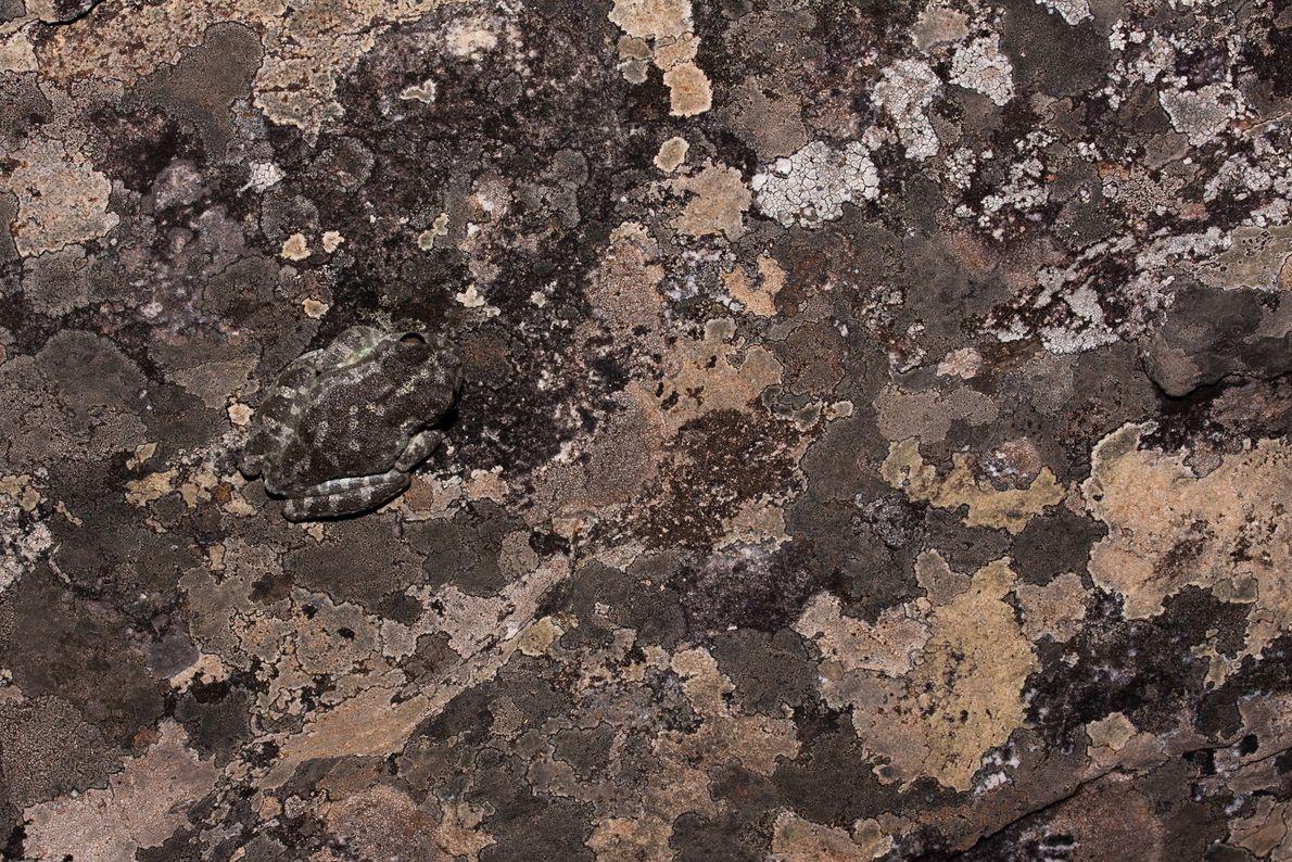 Bokermannohyla alvarengai, anfíbio endêmico da cordilheira do Espinhaço, camufla-se entre rochas. A espécie só é encontrada ...