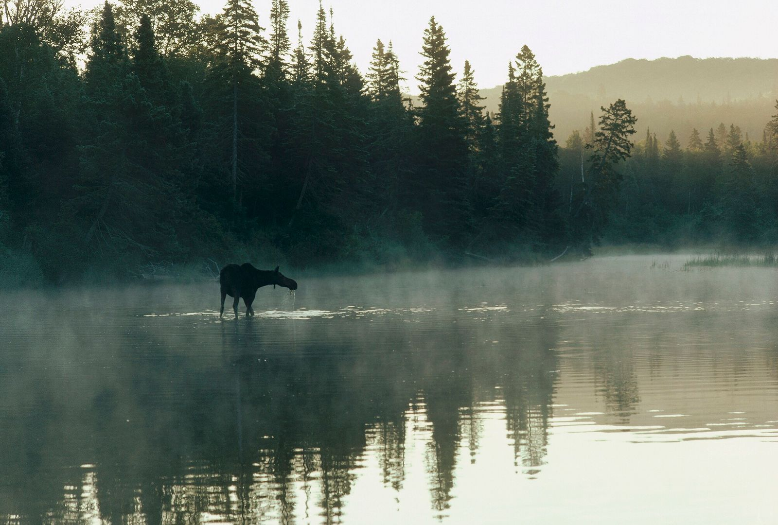 Isle Royale, Michigan   Uma fêmea de alce atravessa um lago no Parque Nacional Isle Royale, ...