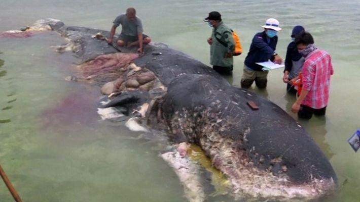 Cachalote encontrada morta com 5,8 kg de plástico no estômago
