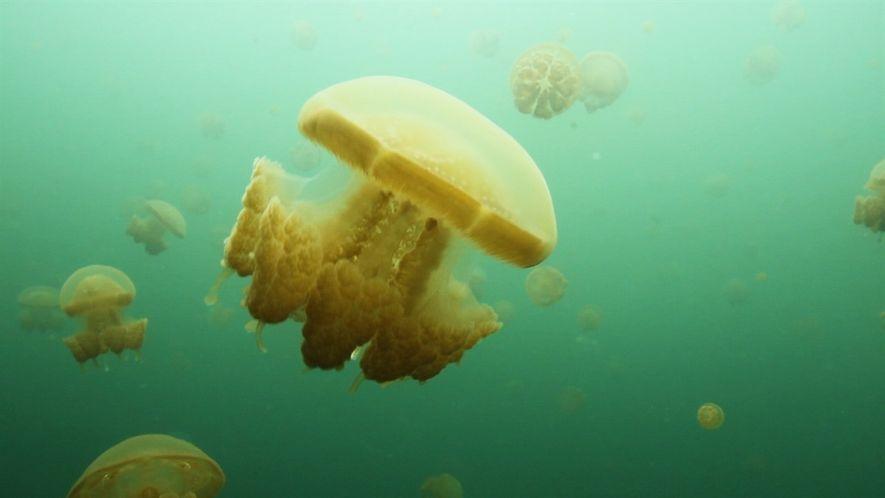Águas-vivas reinam em raros lagos marinhos da Indonésia