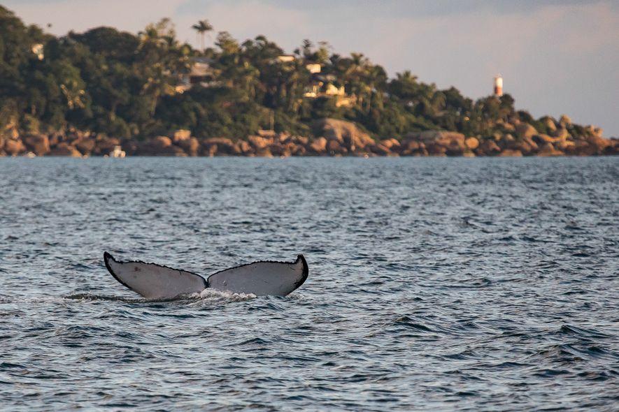 Cauda de baleia-jubarte com o farol da Ponta da Sela ao fundo. A temporada das baleias ...