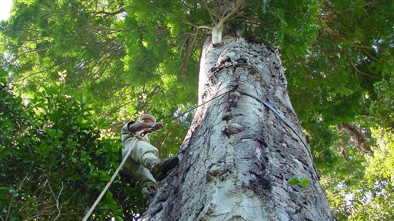 Técnico mede árvore da espécie jueirana-facão, recém- descoberta. A jueirana-facão é mais uma prova de que ...