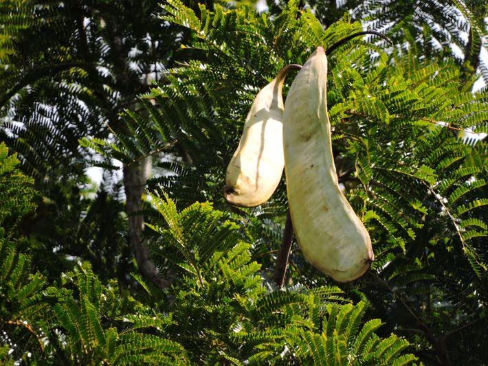 O nome da espécie vem do tamanho da vagem produzida pela árvore, chegando a parecer um ...