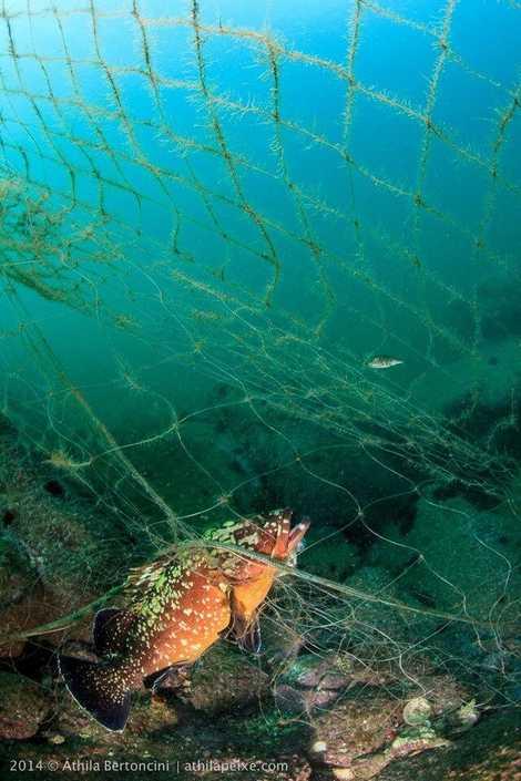 Peixe emaranhado em rede na Praia Vermelha, Rio de Janeiro.