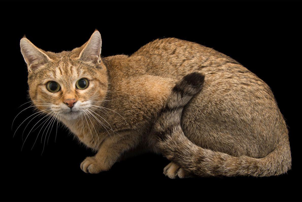Gato-selvagem-asiático