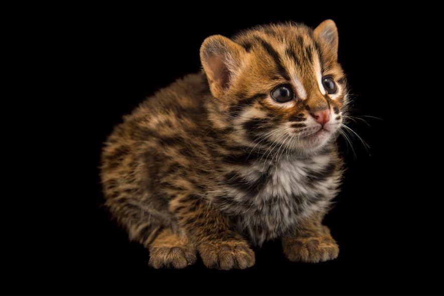 Gato-leopardo – PRIONAILURUS BENGALENSIS