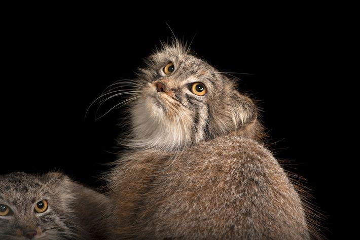 gato-de-pallas