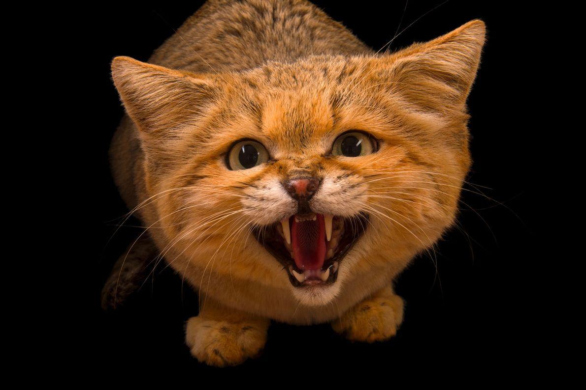 Gato-do-deserto, Felis Margarita.