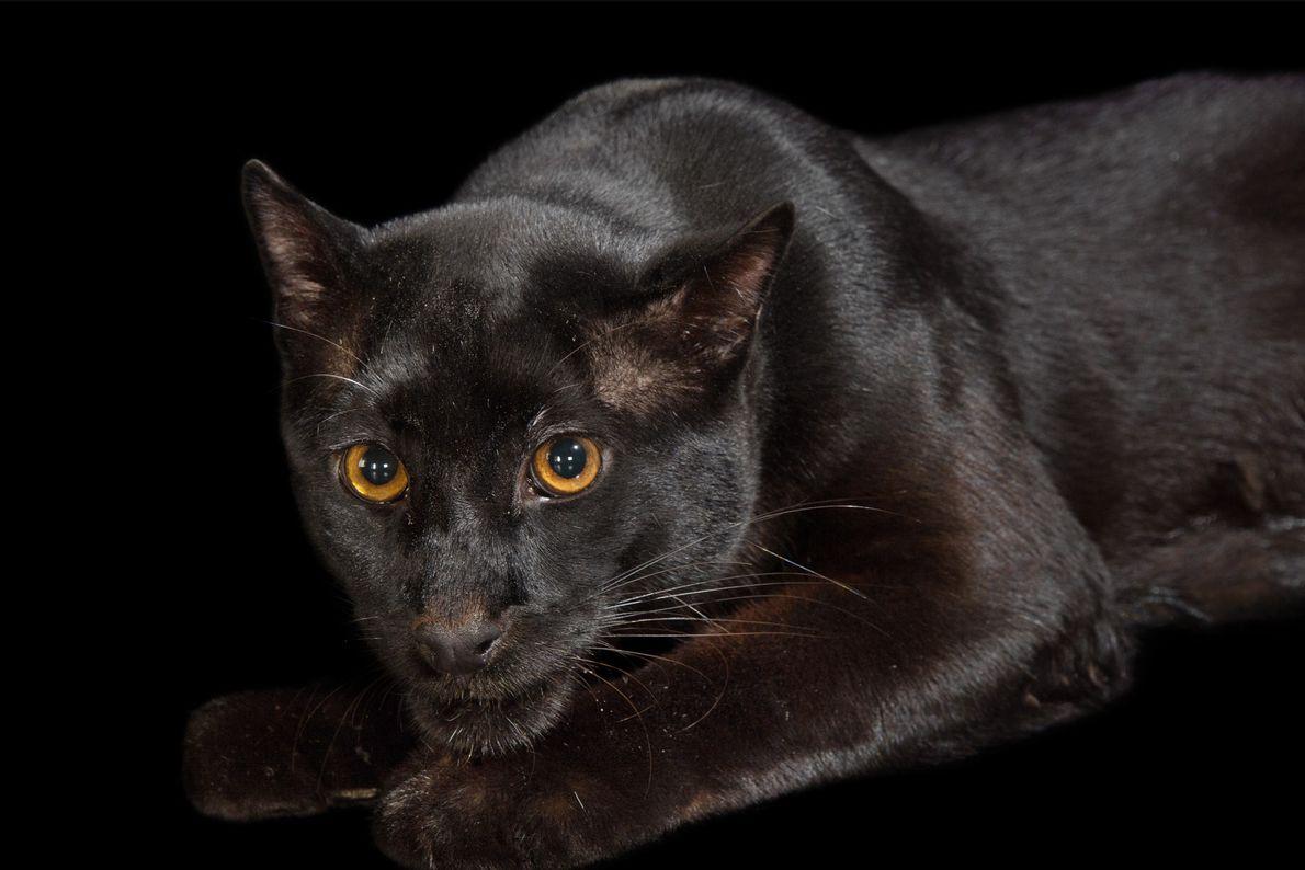 Gato-bravo-dourado-da-ásia