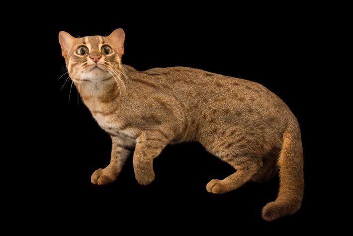 Gato-leopardo-indiano