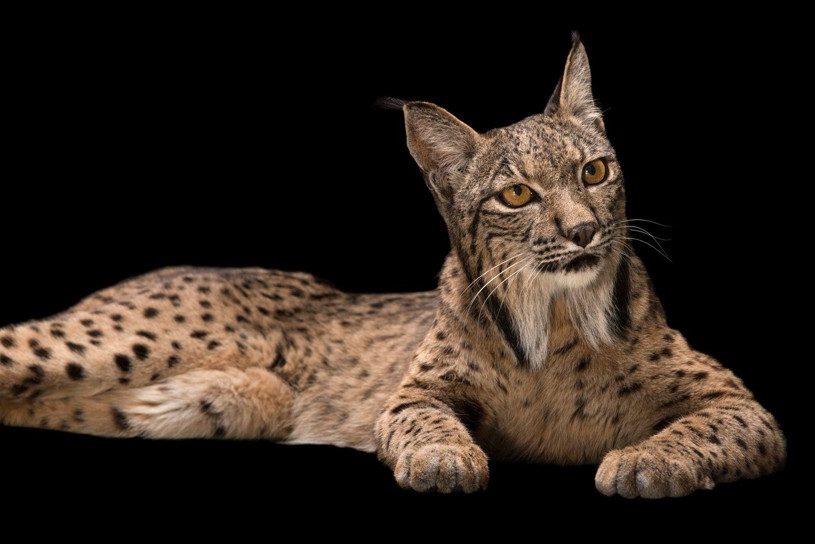 Longe das sombras, os gatos selvagens que você nunca viu