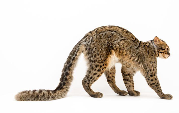 gato-marmorado