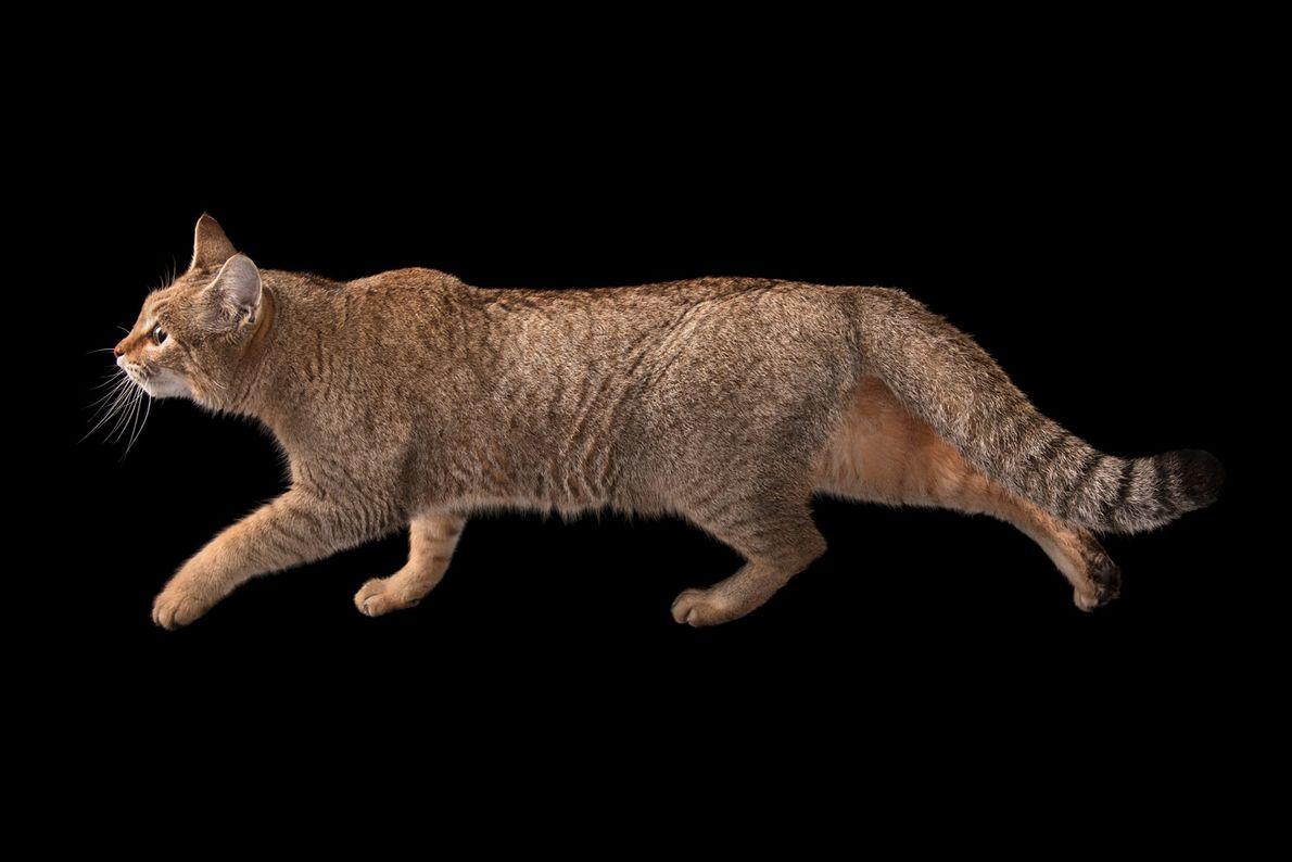 Gato-da-Líbia