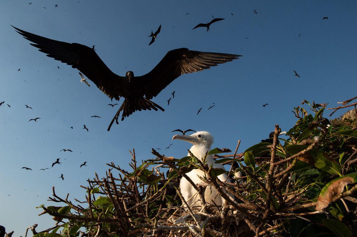 O refúgio abriga o maior ninhal de fragatas do Atlântico Sul e serve de área de ...