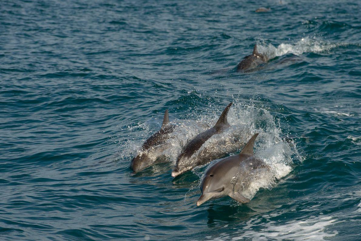 Não é raro avistar golfinhos no caminho para Alcatrazes. O arquipélago conta com cerca de 1,3 ...