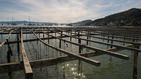 ostras-santa-catarina-aquicultura
