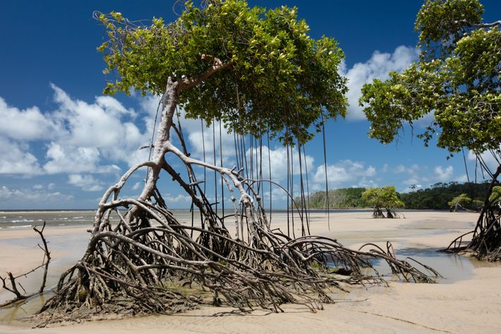 Mangues da costa amazônica na ilha do Marajó, no Pará, avançam sobre a faixa de areia ...