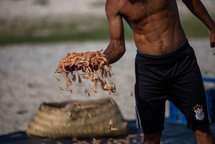 Camarão é secado no sol na comunidade de Lençóis, dentro da Resex Marinha de Cururupu, no Maranhão.