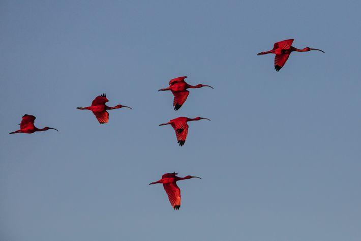 Guarás-vermelhos sobrevoam a Resex Marinha de Arapiranga-Tromaí, no Maranhão. O turismo é outra potencial fonte de renda para ...