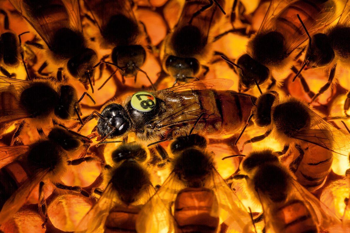 abelha-rainha