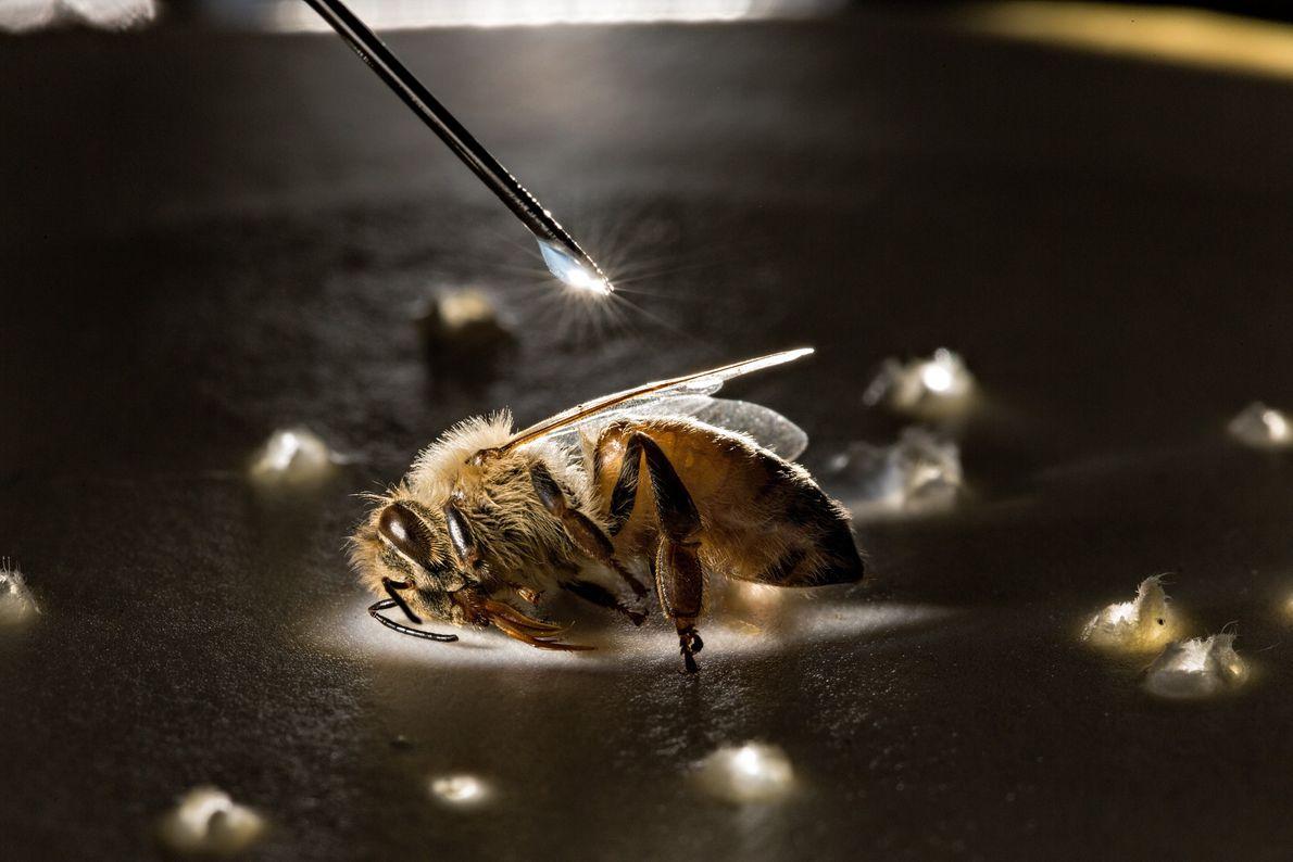 experimento com abelha