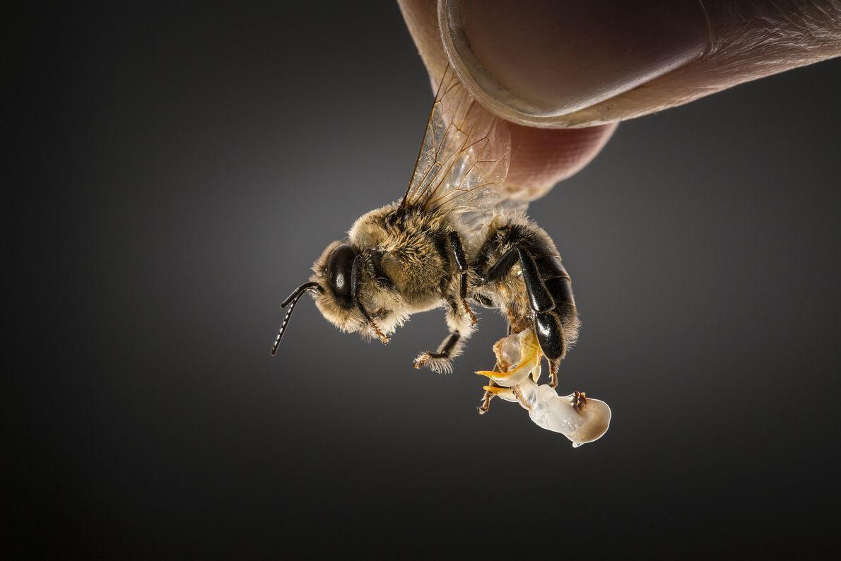 abelha segurada pela asa