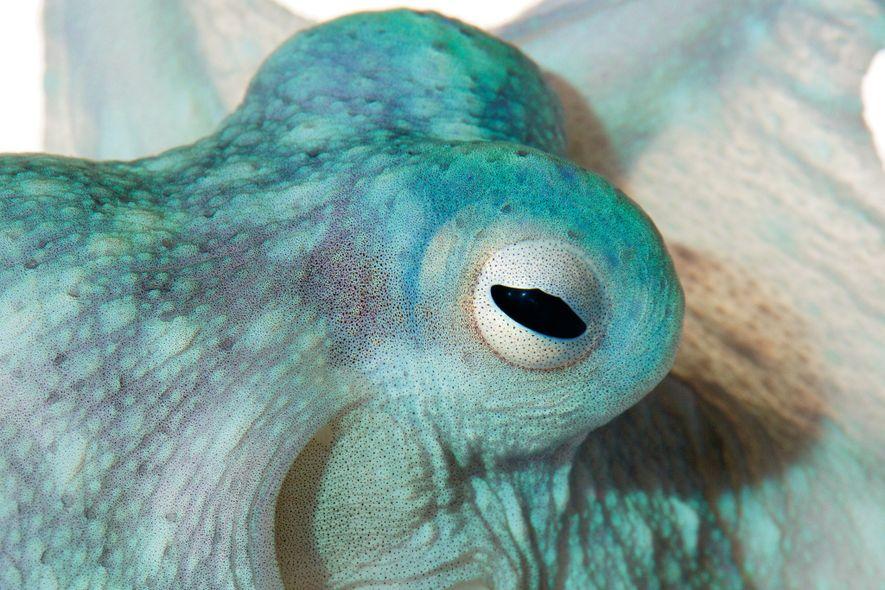 Os polvos são mestres da camuflagem, rapidamente mudando de aparência de modo a se confundir com ...