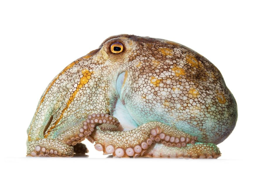 Atarracado, com o corpo alongado e tentáculos reduzidos, o Octopus pallidus vive ao largo da costa ...