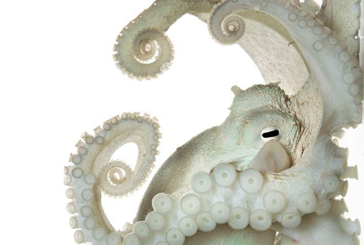 O sistema nervoso do polvo-comum, Octopus vulgaris, é bem maior e mais complexo que o da ...