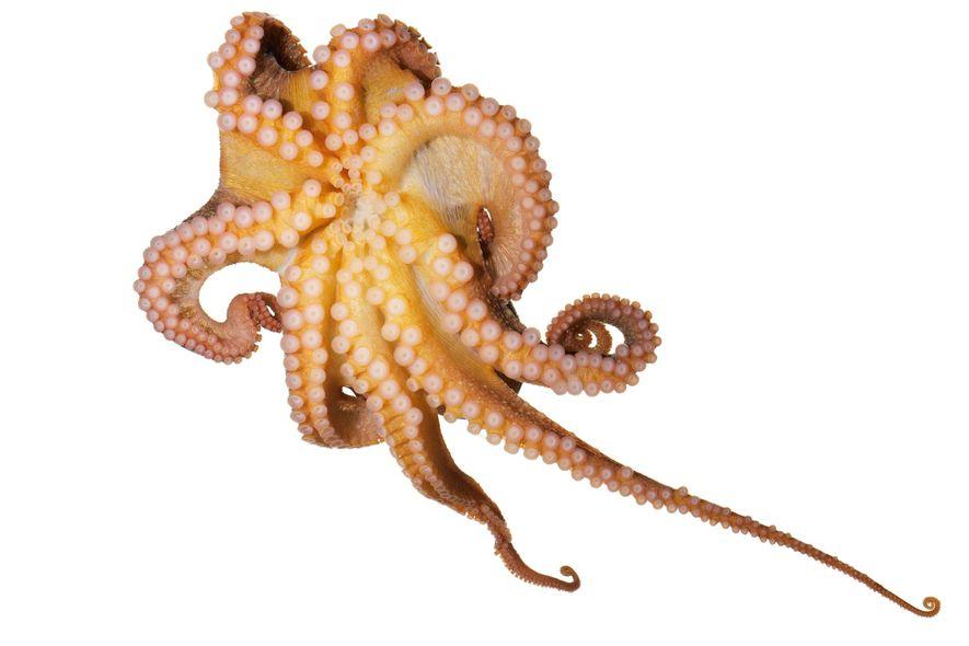 O polvo Octopus rubescens exibe as ventosas. Cada uma delas pode ser controlada individualmente, curvando-se e ...