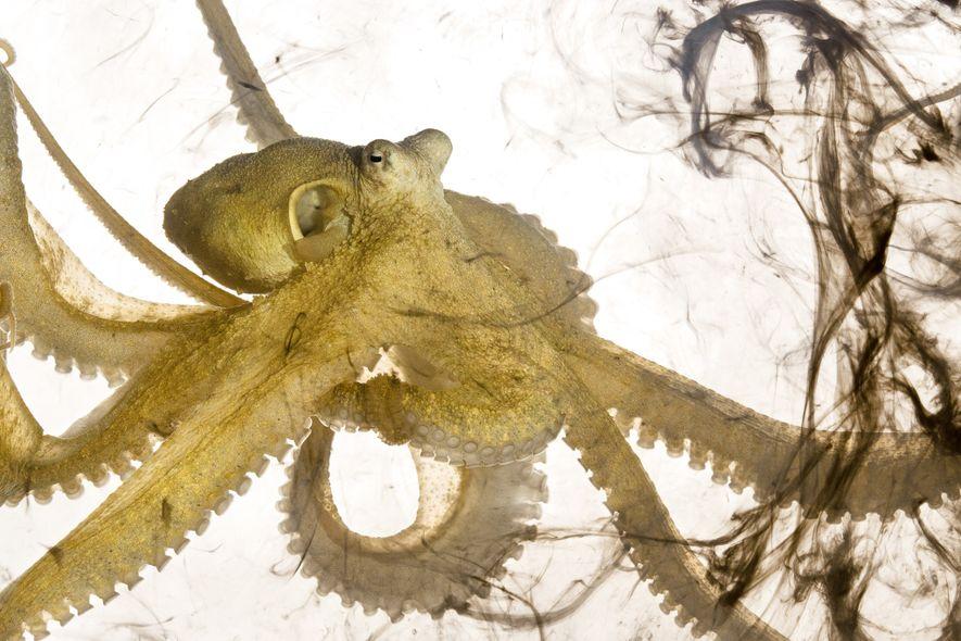 Este Abdopus aculeatus acabou de espirrar tinta. Isso ocorre quando os polvos se sentem ameaçados; a ...