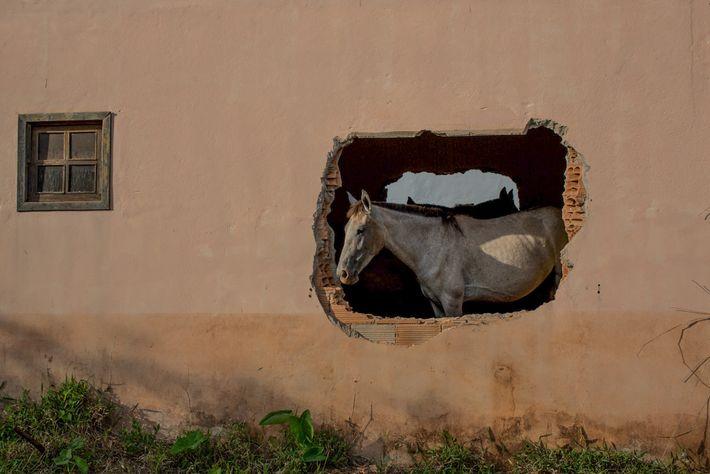 Cavalo dentro de casa destruída pelo mar de lama que encobriu o povoado de Bento Rodrigues, ...