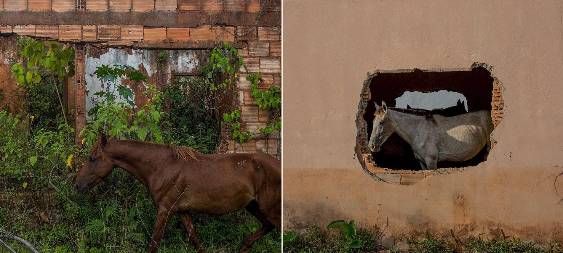 Alimentando-se do mato alto que agora encobre todo o povoado fantasma, os cavalos são os únicos ...