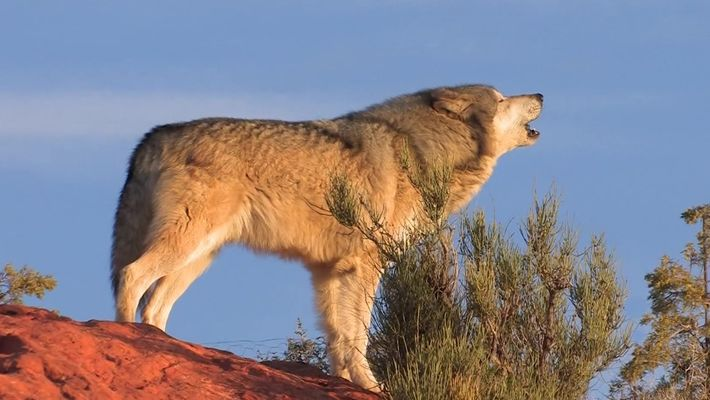 101| Lobos