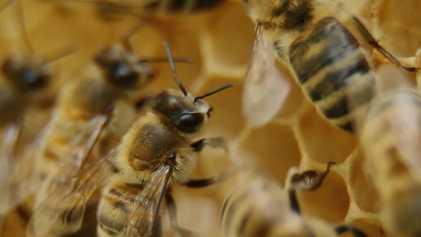 Como as abelhas adquirem suas funções?