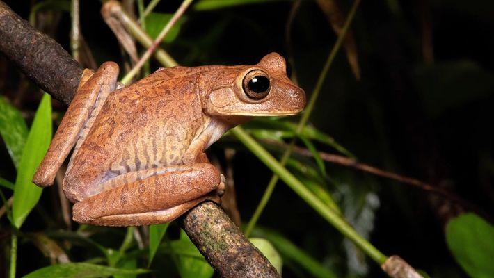 Explorador da National Geographic busca as espécies de anfíbios ameaçadas no Brasil