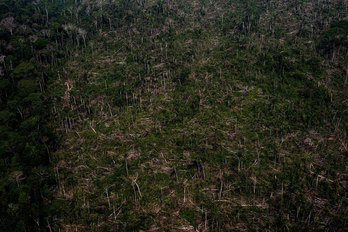 Troncos de árvores derrubados esperam retirada em área de floresta no Acre. Depois de cortar e ...