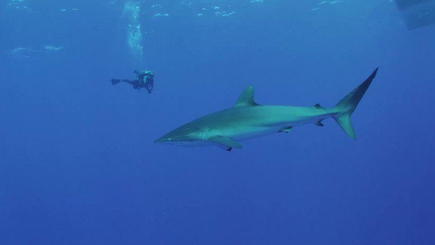 O que é preciso para proteger um santuário de tubarões?