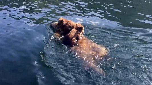 """Em cena """"fofa"""", mãe urso atravessa lago com dois filhotes nas costas"""