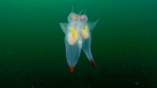 Veja a graciosa dança de acasalamento destas adoráveis criaturas do mar